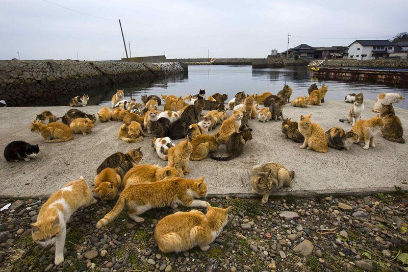 Cats crowd the harbour embankment on Aoshima Island in Ehime prefecture in southern Japan February 25, 2015. REUTERS/Thomas Peter