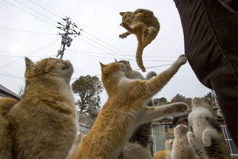 A cat jumps for food offered by a tourist (R) as other cats beg for food on Aoshima Island in Ehime prefecture in southern Japan February 25, 2015.REUTERS/Thomas Peter